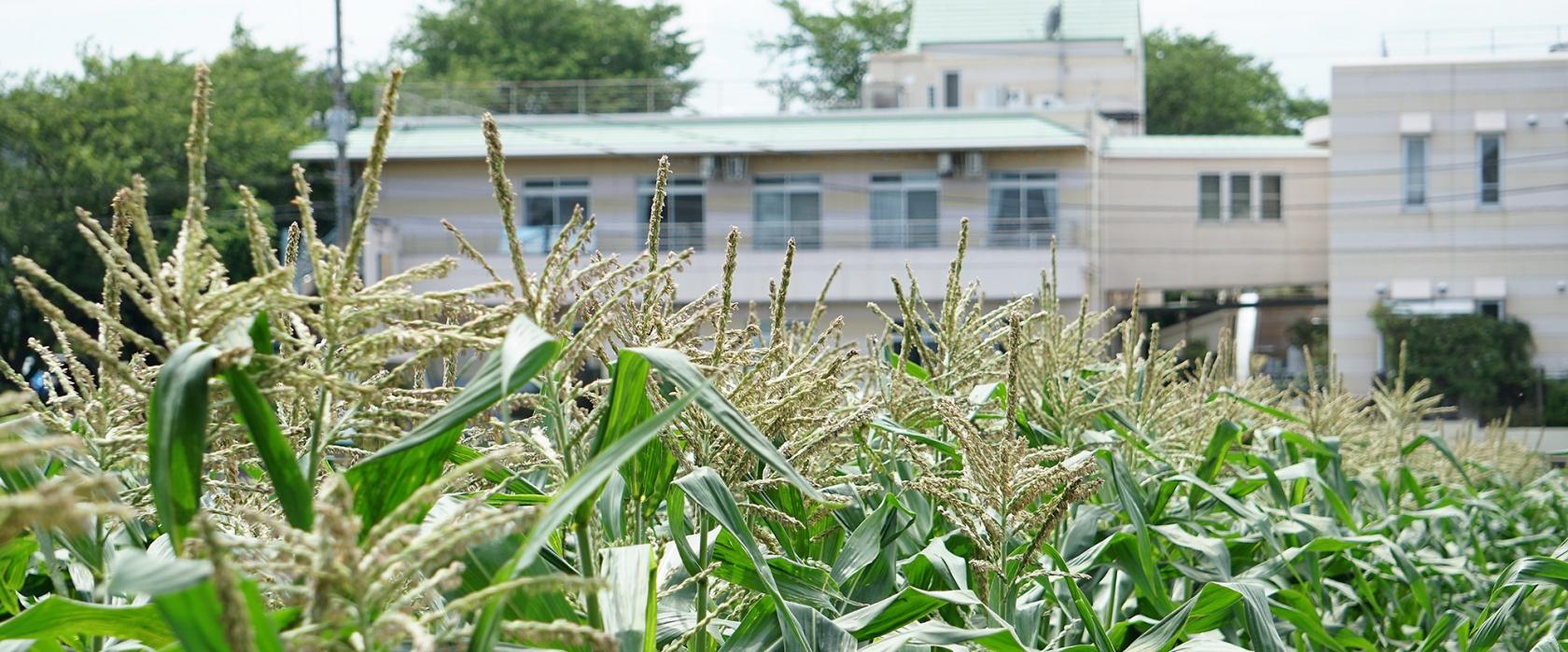 おそごうエリア前のトウモロコシ畑