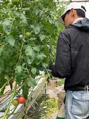 トマト紐切り